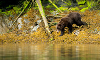 Brown Bear at the edge of the Bay