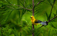 Prothonotary Warbler on Cypress