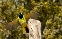 Green Jay in flight