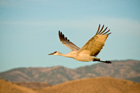 Sandhill in flight over Mountains