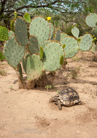 Texas Tortoise and Prickly Pear cactus
