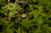 Bard Owl in Flight